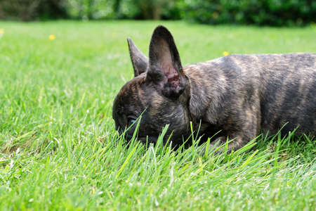 A cute adorable brown and black French Bulldog Dog is lying in the grass with a cute expression in the wrinkled face.