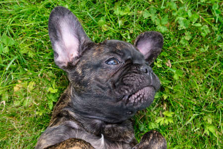 A cute brown and black French Bulldog Dog portrait, lies on her back in the grass with a cute expression in the wrinkled face.