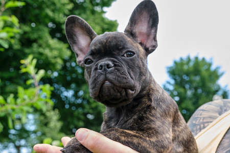 A head of a cute brown and black brindle French Bulldog Dog, carried on one hand, with a cute expression in the wrinkled face. 版權商用圖片