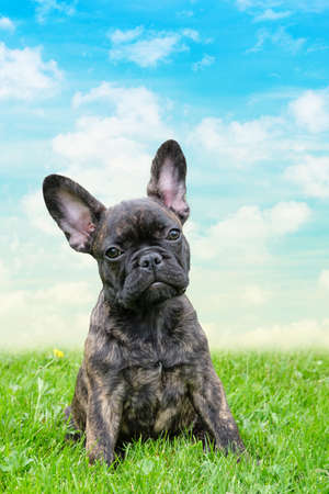 An adorable brown and black brindle French Bulldog Dog, against a dramatic sky background, composite photo.