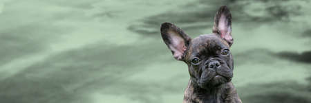 Panorama of a puppy head, brindle French Bulldog Dog, against a dramatic sky background, composite photo