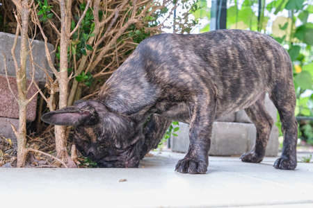 A brindle French Bulldog puppy, standing curiously sniffing between the tiles