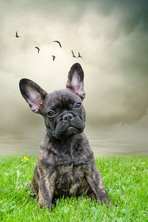An adorable brown and black brindle French Bulldog Dog, against a dramatic sky background, with birds,composite photo