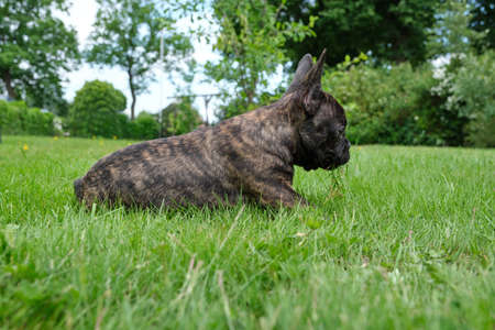 A cute adorable brown and black French Bulldog Dog is lying in the grass with a cute expression in the wrinkled face