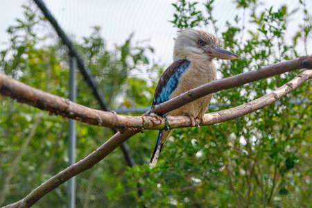 Blue-winged kookaburra, bird sitting on a branch. Wildlife, bird watching. 免版税图像 - 151129498