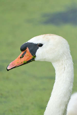 One white swan with orange beak, swim in a pond. Head and neck only. Duckweed floats in the water