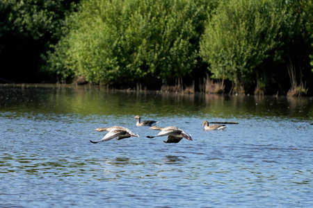 A group of gray geese, dark gray-brown goose, swim in the water, Standard-Bild