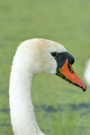 One white swan with orange beak, swim in a pond. Head and neck only. Duckweed floats in the water.
