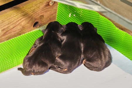 Four newborn jack russell terrier puppies in a whelping box with a warming lamp.