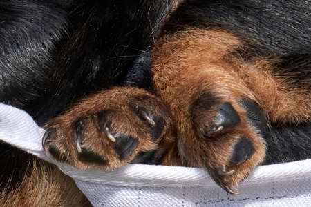 Jack Russell terrier puppy groin in a mask. close up of a puppy's paw.