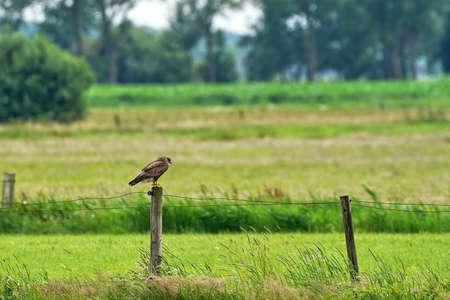 Buzzard bird of prey sitting on a pole, buteo buteo. Banque d'images