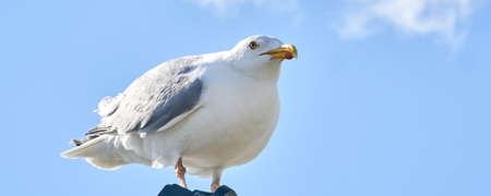 A seagull sits against the blue sky in the sun, Wide long cover or banner.