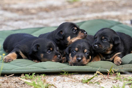 Jack Russell terrier puppies. Close-up portrait, lie on a green cloth. Stock Photo