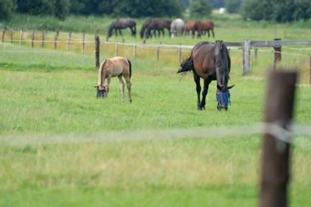 A valk color foal and a brown mare in the field, wearing a fly mask, pasture, horse. 免版税图像