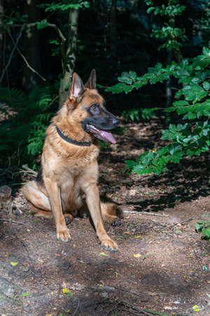 Brown German Shepherd dog, male sits in the woods on the sand, tongue sticking out. Trees in the background.