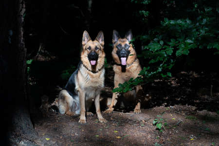 Two brown German Shepherd dogs, sitting together in the woods, close-up, sunlight on dog heads, tongue sticking out. Trees in the background.
