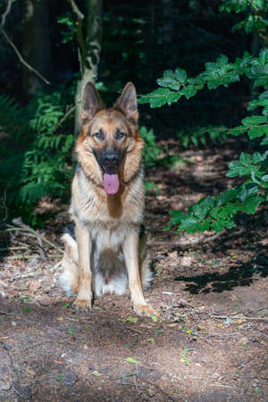 Young brown German Shepherd dog, female sits in the woods on the sand, tongue sticking out. Trees in the background. 免版税图像