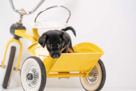 Puppy portrait Jack Russell Terrier in the back of a yellow tricycle on a white background.