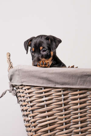A portrait of an adorable Jack Russel Terrier puppy, in a wicker basket, isolated on a white background.