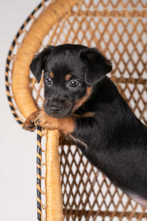 A portrait of a cute Jack Russel Terrier puppy, standing on hind legs on a rattan chair, part of body. 免版税图像