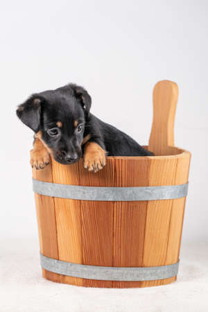 A portrait of a cute Jack Russel Terrier puppy, in a wooden sauna bucket, isolated on a white background.