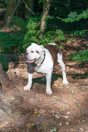 Old English Bulldog, 11 years old, standing in a natural environment in the woods. 免版税图像