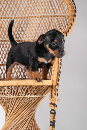 A portrait of a cute Jack Russel Terrier puppy, standing on hind legs on a rattan chair, isolated on a white background.
