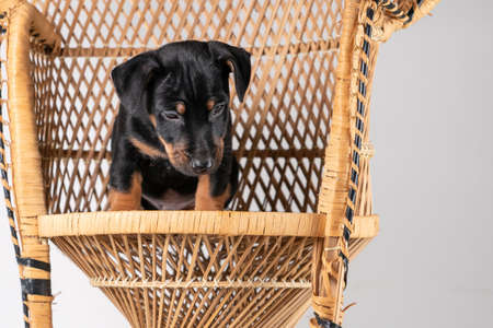 A portrait of a cute Jack Russel Terrier puppy sitting on a rattan chair, isolated on a white background.