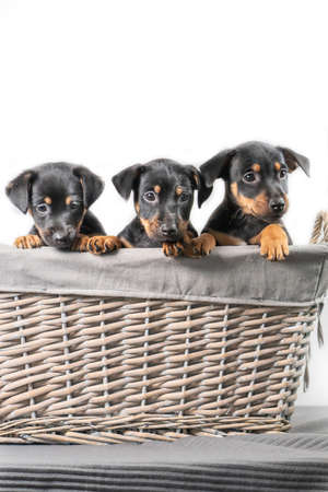 A portrait of three adorable Jack Russel Terrier puppies, in a wicker basket, isolated on a white background.