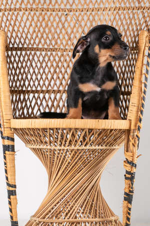 A portrait of a cute Jack Russel Terrier dog sitting on a rattan chair, isolated on a white background. 免版税图像
