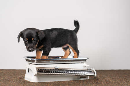 Jack Russell terrier puppy posing on a vintage white baby scale, white background.