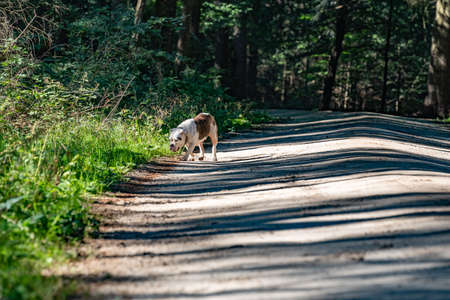 Old English Bulldog, 11 years old, walking one dirt road in a natural environment in the woods. 免版税图像