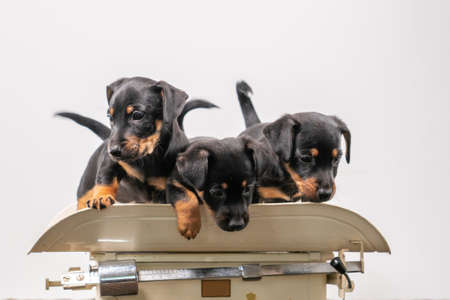 Three Jack Russell terrier puppies posing on a vintage baby scale, white background.