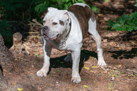 Old English Bulldog, 11 years old, standing in a natural environment in the woods 免版税图像
