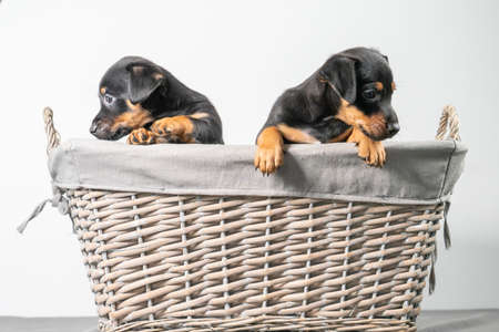 A portrait of two adorable Jack Russel Terrier puppies, in a wicker basket, isolated on a white background