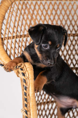 A portrait of a cute Jack Russel Terrier puppy, standing on hind legs on a rattan chair, part of body