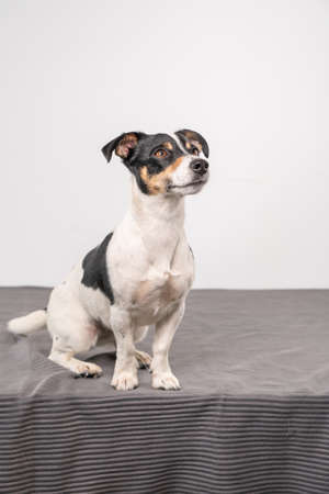 Young brown, black and white Jack Russell Terrier posing in a studio, the dog looks to the right, copy space 免版税图像