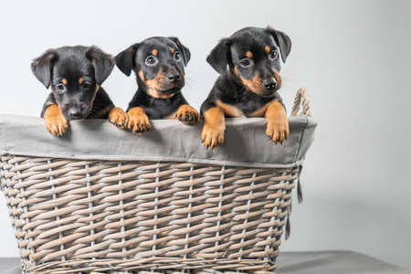 A portrait of three adorable Jack Russel Terrier puppies, in a wicker basket, isolated on a white background