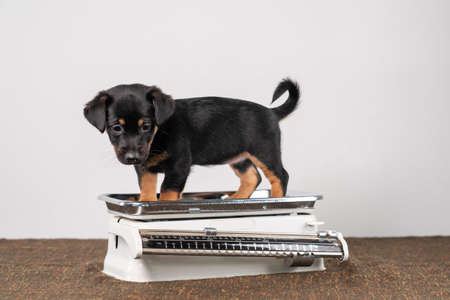 Jack Russell terrier puppy posing on a vintage white baby scale, white background