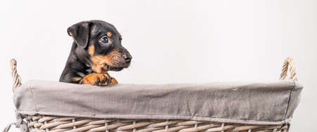 A portrait of a adorable Jack Russel Terrier puppy, in a wicker basket, isolated on a white background. Wide long cover, banner or social media