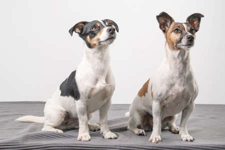 Two Jack Russell Terriers, one tan black and tan white posing in a studio, in full length 免版税图像