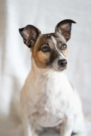 Brown, black and white older Jack Russell Terrier on a chair , half body