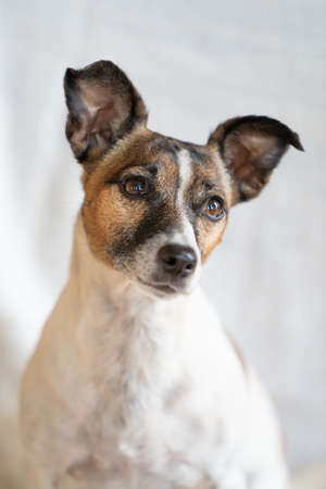 Brown, black and white older Jack Russell Terrier on a chair, half body.