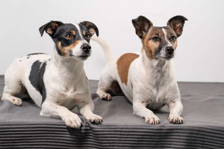 Two brown, black and white Jack Russell Terrier posing in a studio, in full length, copy space.