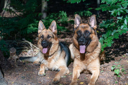 Two beautiful German Shepherd dogs lie together in the forest, sunlight shines on the dog's heads, the tongues sticking out of their mouths. Trees in the background.