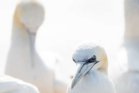 Huge Northern gannet Morus bassanus, colony with many birds on the edge of steep cliffs above the ocean. Wildlife photography, ornithology travel and tourism destination. 免版税图像
