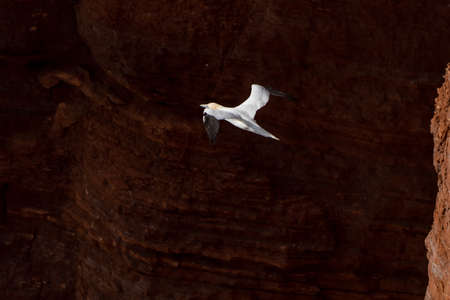 A single white and yellow gannet flies through the sky, with a dark rock in the background. 免版税图像
