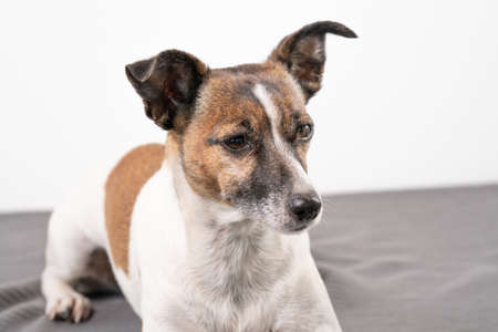 Brown, black and white older Jack Russell Terrier lies on a chair, full body. 免版税图像
