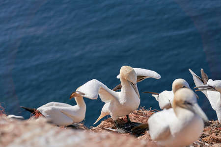 In fresh colors a huge Northern Gannet colony with many birds on the edge of steep cliffs above the ocean. Ornithology travel and tourism destination. 免版税图像