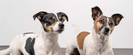 Two brown, black and white Jack Russell Terrier heads, copy space, banner or social media. 免版税图像